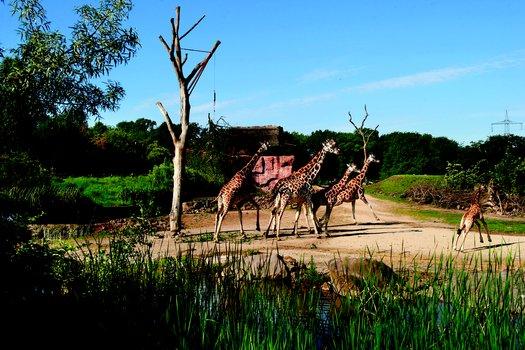 giraffen-zoom