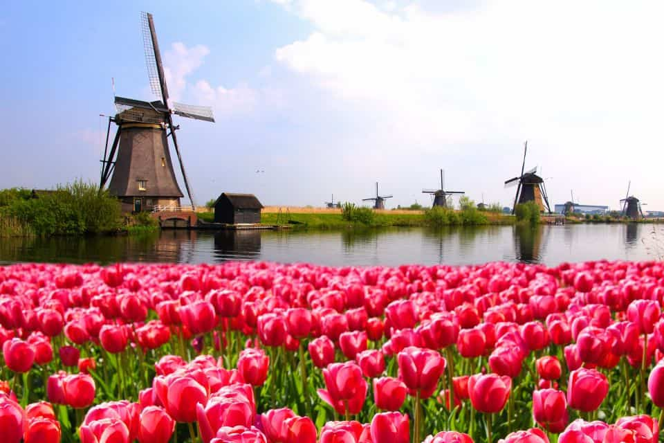 vibrant-pink-tulips-with-dutch-windmills-along-a-canal-netherlands