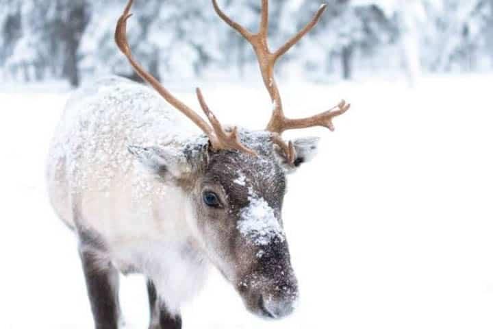 Lappland Reise Elch